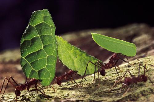 Leaf-cutter aka wee wee ants