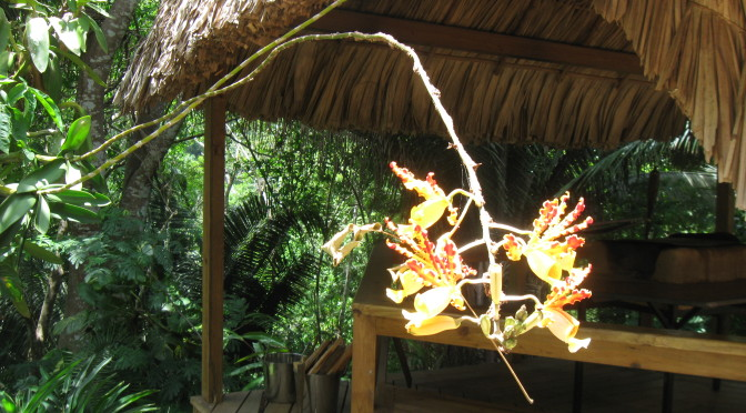 "Belizean orchid outside the ""fogon"" deck at duPlooy's Jungle Lodge"