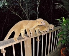 Kinkajous are regular visitors to duPlooy's Deck